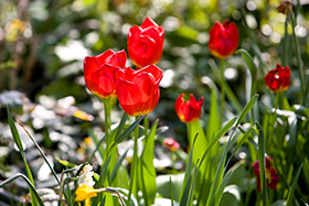 Red tulips blooming in Devonshire House Garden